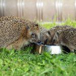 Igeln helfen, aber richtig! – Jetzt mit Unterschlupf und Futter im Garten unterstützen