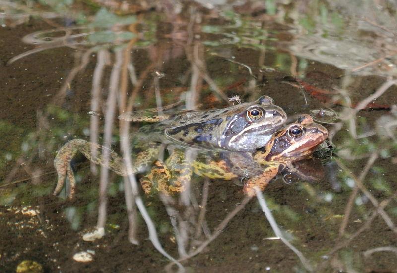 Noch vor den Erdkröten finden sich die Grasfrösche an den Laichgewässern ein. Foto: M. Limbacher