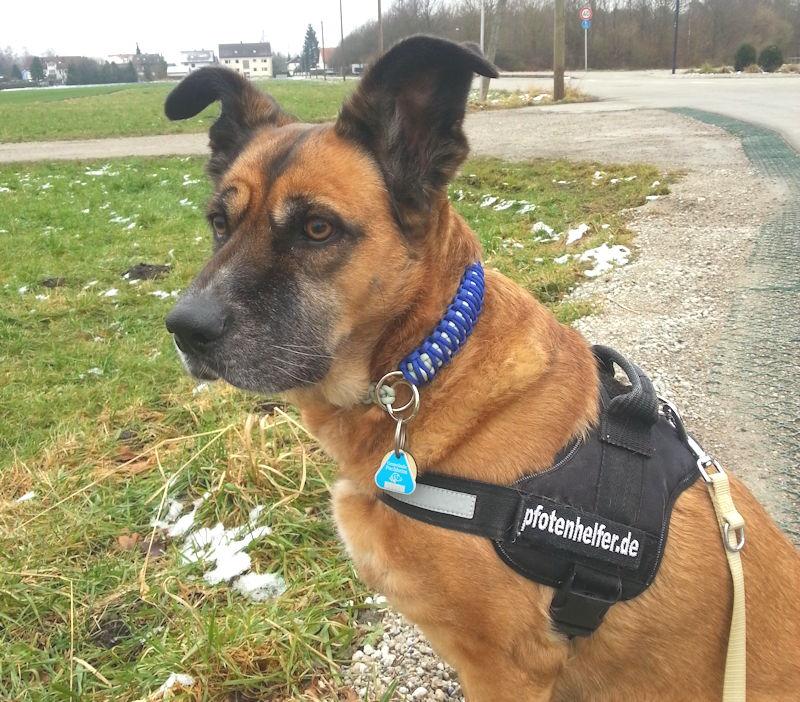 Die Steuermarke stört auch Pfotenhelfer-Hund Kira nicht. Foto: Kerstin Said