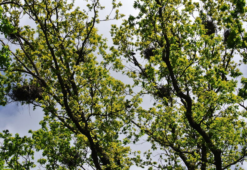 Fast schon die Lautstärke eines Presslufthammers (100dB) erreichen die Rufe der Krähenpopulation am Schopflach-Friedhof in der Brutzeit. Foto: Puchheimer Stadtportal