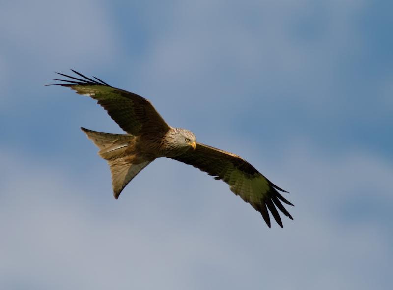 Auch über Puchheim kann man Raubvögel beobachten, Foto: LBV Archiv, Markus Gläßel