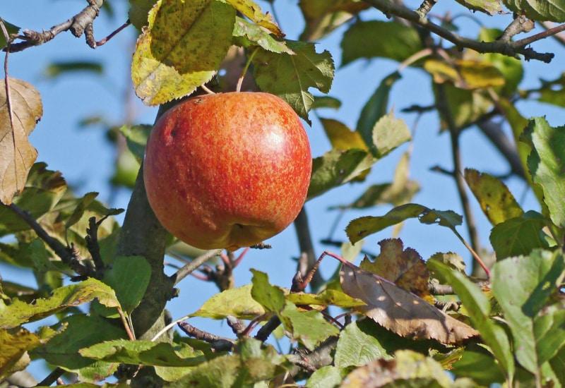 10 Apfelbäume für Puchheimer Gärten spendiert die Stadt zum Jubiläum.