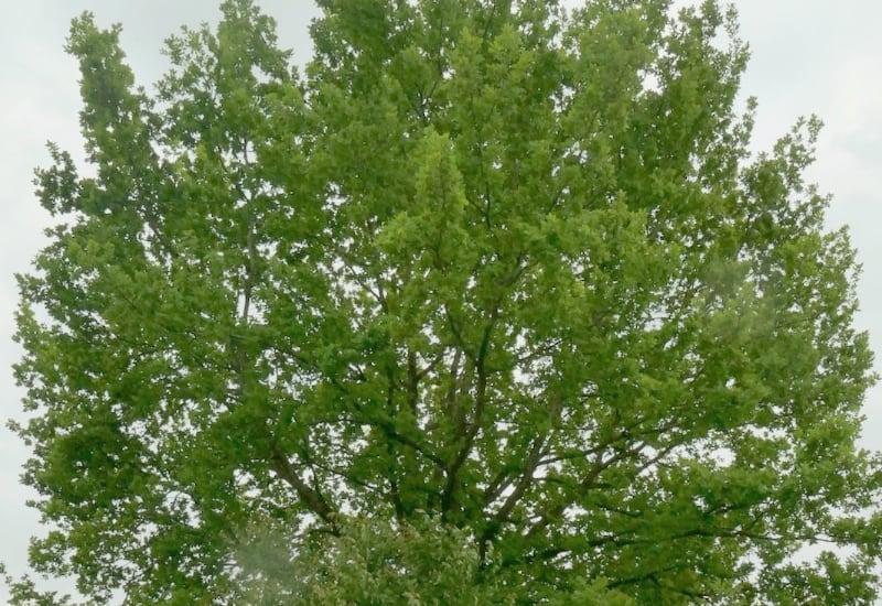 Puchheimer Bäume brauchen mehr Schutz