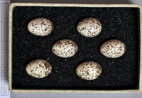 phylloscopus-sibilatrix-eier